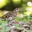 White's Scaly Thrush,Zoothera dauma — Stock Photo