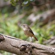 Female Daurian Redstart,Phoenicurus auroreus — Stock Photo