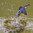 Common kingfisher,Alcedo atthis — Stock Photo