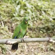 Parrot,Psittaciformes — Stock Photo