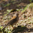Pale Thrush,Turdus pallidus — Stock Photo