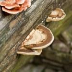 Glossy ganoderma, Ganoderma lucidum — Stock Photo