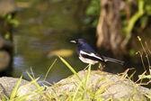 Male Oriental Magpie-Robin,Copsychus saularis — Stock Photo