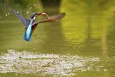 Kingfisher comum, alcedo atthis — Foto Stock