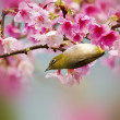 Japanese White-eye with pink cherry blossoms — Foto Stock