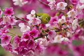 Japanese White-eye with pink cherry blossoms — Stock Photo