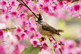 Taiwan Yuhina with pink flowers — Stock Photo