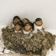 Swallow nest with chicks — Stock Photo #26198883