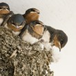 Swallow nest with chicks — Stock Photo #26199535