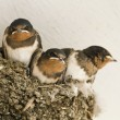 Swallow nest with chicks — Stock Photo