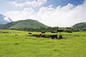 коров, пасущихся на лужайке — Стоковое фото