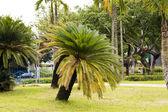Cycas revoluta (sago cycad) — Stock Photo