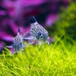 Two Corydoras Trinilleatus Catfish,aquarium fish — Stock Photo