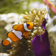 Clownfish in marine aquarium — стоковое фото #36900293