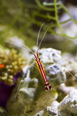 Scarlet Skunk Cleaner Shrimp — Stock Photo