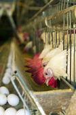 White chickens — Stock Photo