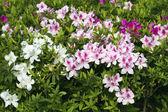 рододендрон, цветы whiet — Стоковое фото