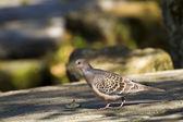 Oriental Turtle Dove,Streptopelia orientails — Stock Photo