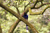 Formosa blue magpie,Urocissa caerulea — Stock Photo