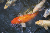Koi fish pond — Stockfoto