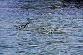 Seagull in flight,Larus crassirostris — Stock Photo