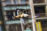 Seagull in flight,Larus crassirostris — 图库照片