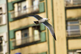 Seagull in flight,Larus crassirostris — Foto Stock