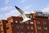 Seagull in flight,Larus crassirostris — Foto de Stock