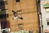 Seagull in flight,Larus crassirostris — Photo