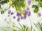 Wisteria sinensis — Stock Photo
