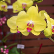 Phalaenopsis, Orchidaceae — Stock Photo
