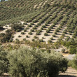 Stock Photo: Olive trees in plantation