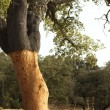 A corkwood tree — Stock Photo