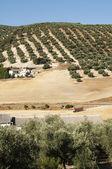 Olive trees in plantation — Stock Photo