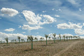 Yang olive trees in a row — Stock Photo