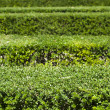 Stock Photo: Green background of garden shrubs