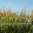 Watering the corn plantation — Stock Photo