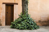 Wooden door and ivy — Stock Photo