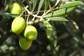 Olives on a branch — Stock Photo