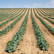 Cabbage plantation — Foto Stock