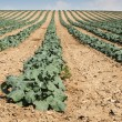 Cabbage plantation — Stock Photo