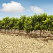 Vineyards in rows and blue sky — Stock Photo