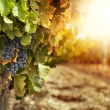 Vineyards at sunset - Stock Photo