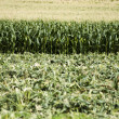 Harvested corn plantation — Stock Photo