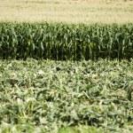 收获的玉米种植 — 图库照片