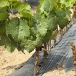 Young Vineyards in rows. — Stock Photo #13804514