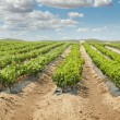 Young Vineyards in rows. — Stock Photo #13804516