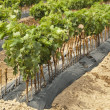 Young Vineyards in rows. — Stock Photo