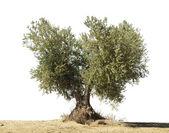 Drzewo oliwne biały na białym tle. — Zdjęcie stockowe