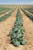 Plantação de repolho — Foto Stock